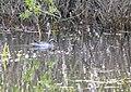 Spatula querquedula 01(js), Narew river (Poland).jpg