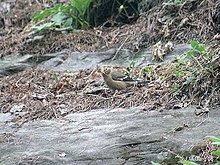Spectacled Finch I IMG 3307.jpg