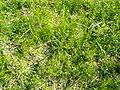 Spergula arvensis1pl.jpg