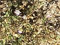 Spergularia rubra sl25.jpg