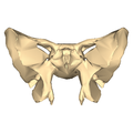 Sphenoid bone - close-up - anterior view.png