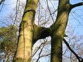 Spier's Inosculating trees.JPG