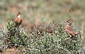 Spike-heeled lark, Chersomanes albofasciata, at Suikerbosrand Nature Reserve, Gauteng, South Africa (22023285063).jpg