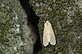 Spilarctia subtestacea (26218628331).jpg