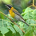 Spindalis portoricensis by Mike's Birds.jpg