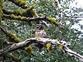 Spotted Owl- Strix occidentalis (9403891588).jpg
