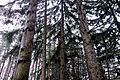 Spruce Forest Red Hill Valley 2.JPG