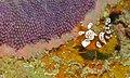 Squat Shrimp (Thor amboinensis) (8470417507).jpg