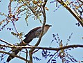 Squirrel Cuckoo (Piaya cayana) (31664799661).jpg