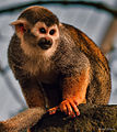 Squirrel Monkey (9518225543).jpg