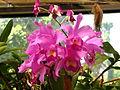 Sri Lanka - Kandy Botanical Garden - Orchids - 10 (1756675131).jpg