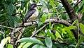 Sri Lanka grey hornbill(Ocyceros gingalensis) 02.jpg