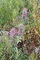 Stachys lavandulifolia kz04.jpg