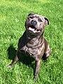 """Staffordshire Bull Terrier, called """"King"""".jpg"""
