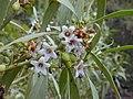 Starr-030202-0115-Myoporum sandwicense-flowers-Wailea 670-Maui (24252154599).jpg