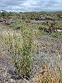 Starr-030424-0107-Zinnia peruviana-habit-Puu o Kali-Maui (24631416165).jpg