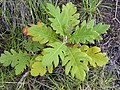 Starr-030628-0034-Bocconia frutescens-seedling-Auwahi-Maui (24007716224).jpg