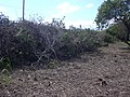Starr-040127-0007-Schinus terebinthifolius-debris-Kanaha Beach-Maui (24402016670).jpg