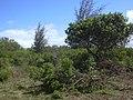 Starr-040212-0001-Schinus terebinthifolius-area being cleared-Kanaha Beach-Maui (24402980670).jpg