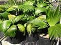 Starr-050303-4818-Pritchardia sp-habit-Maui Nui Botanical Garden-Maui (24372127709).jpg