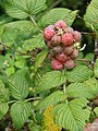 Starr-070621-7485-Rubus niveus-form a fruit and leaves-Upper Kimo Dr Kula-Maui (24796522131).jpg