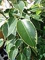 Starr-080117-1896-Ficus benjamina-bonsai-Home Depot Nursery Kahului-Maui (24783270722).jpg