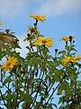 Starr-090416-5973-Tithonia diversifolia-flowers-Makawao-Maui (24925642446).jpg