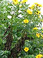 Starr-090518-7953-Tithonia diversifolia-flowering habit-Omaopio-Maui (24328640263).jpg