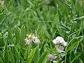 Starr-090519-8030-Lathyrus latifolius-flowers leaves and tendrils-Kula-Maui (24837680242).jpg
