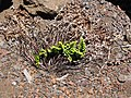 Starr-090629-1969-Asplenium adiantum nigrum-habit with previous growth and dieback leaves-Science City-Maui (24337095414).jpg