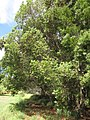 Starr-090804-3690-Acacia melanoxylon-habit-MISC HQ Piiholo-Maui (24971151185).jpg