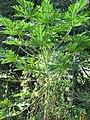 Starr-091104-9302-Carica papaya-male flowers-Kahanu Gardens NTBG Kaeleku Hana-Maui (24895688611).jpg
