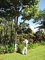 Starr-110330-4036-Canarium ovatum-habit with Kim-Garden of Eden Keanae-Maui (24962984752).jpg