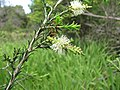 Starr-110331-4477-Melaleuca sp-flowers and leaves-Shibuya Farm Kula-Maui (25081789685).jpg