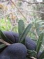 Starr-110331-4616-Banksia marginata-leaves-Shibuya Farm Kula-Maui (24988686201).jpg