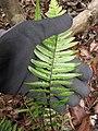 Starr-120229-3034-Doodia kunthiana-underside leaf with sori-Waikapu Valley-Maui (25043146331).jpg