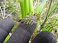 Starr-120425-4847-Dianella sandwicensis-form multipedicellata-Waikapu Valley-Maui (24772074089).jpg