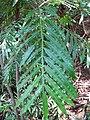 Starr-120522-6329-Filicium decipiens-leaf-Iao Tropical Gardens of Maui-Maui (24512832154).jpg