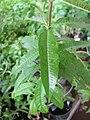 Starr-120613-9638-Aloysia citrodora-leaves-Home Depot Nursery Kahului-Maui (24514839084).jpg
