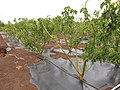 Starr-120620-7544-Jatropha curcas-biofuel trial plantings-Kula Agriculture Park-Maui (25027610002).jpg