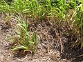 Starr-120702-7857-Cenchrus purpureus x glaucum-Hoolehua PMC hybrid Pearl Millet x banagrass-USDA Plant Materials Center-Molokai (24818440259).jpg