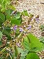 Starr-131002-2394-Pachyrhizus erosus-flowers leaves and seedpods-Hawea Pl Olinda-Maui (25227328445).jpg