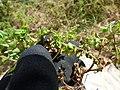 Starr-150325-0409-Euphorbia peplus-flowers-Residences Sand Island-Midway Atoll (24970032360).jpg