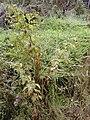 Starr 021126-0059 Rubus hawaiensis.jpg