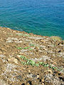 Starr 041029-0323 Jacquemontia ovalifolia subsp. sandwicensis.jpg