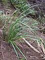 Starr 041221-1882 Carex alligata.jpg
