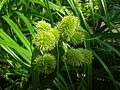 Starr 050303-4817 Cyperus phleoides.jpg