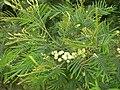 Starr 050415-0039 Acacia mearnsii.jpg