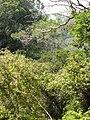 Starr 050713-7144 Canavalia hawaiiensis.jpg