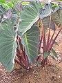 Starr 060329-6830 Colocasia esculenta.jpg